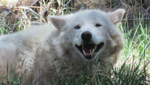 Smiling Wolf, Bearizona, Williams, Arizona