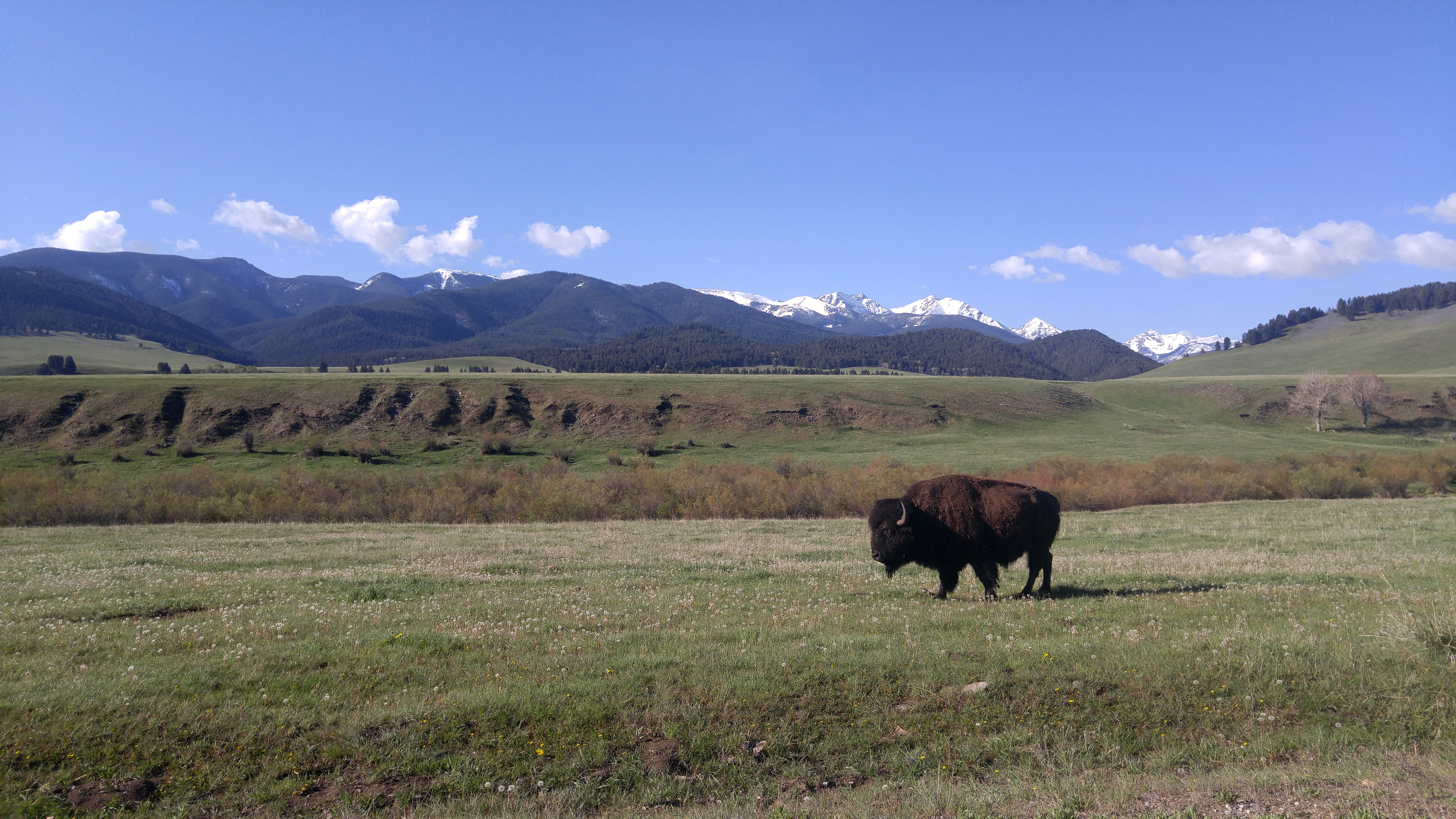 Bison on the plains bordering the Montana Mountains