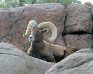 Big Horn Sheep on the rocks under the cacti